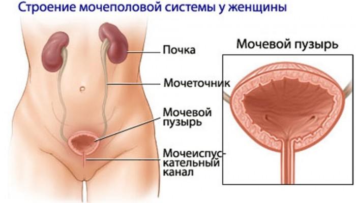 stroenie-mochepolovoi-systemi-zenshin