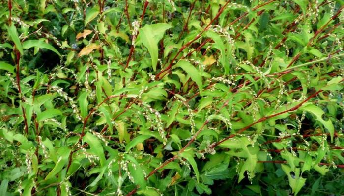 persicaria-hydropiper-gorec-perechnyj